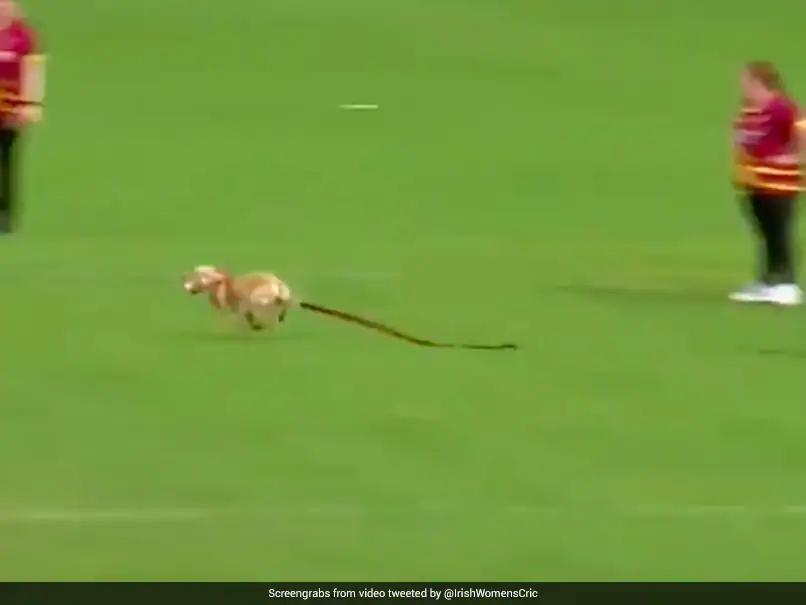 Dog Invades Pitch In A Hilarious Incident During Women's All-Ireland T20 Semi-Final. Photo- Twitter