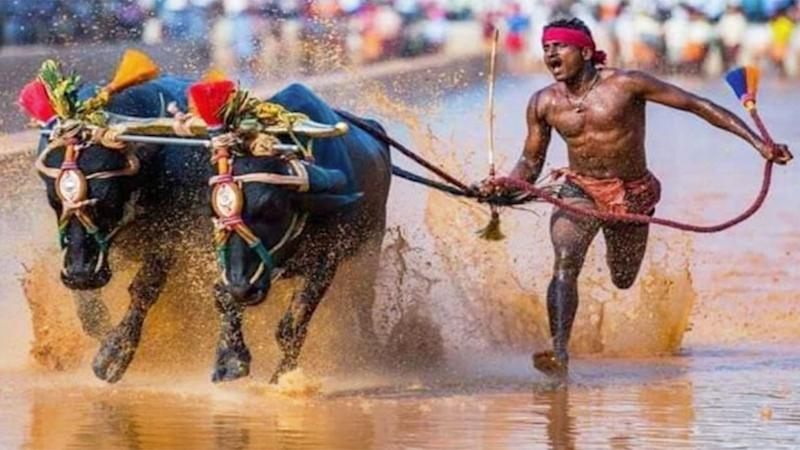 Pictured here, Srinivasa Gowda is in action during Kambala competition.