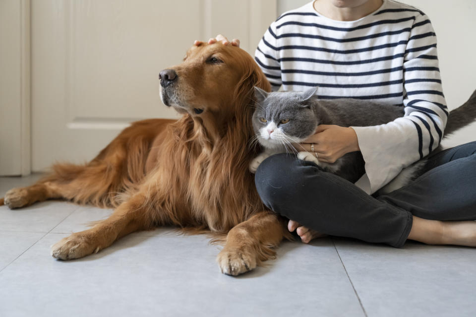Golden Retriever and British Shorthair accompany their owner