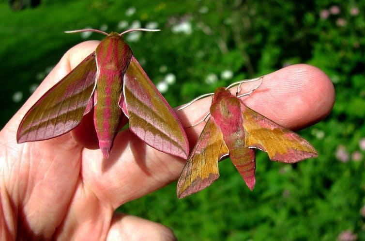 Two pink and brown moths sitting on a hand