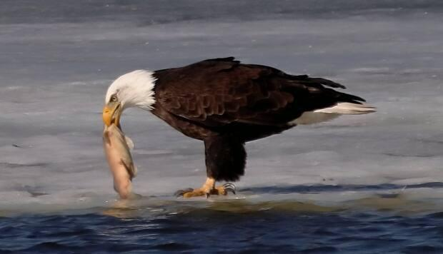 Ken Dumont said he couldn't believe he was watching the eagle eat a carp from Wascana Lake.