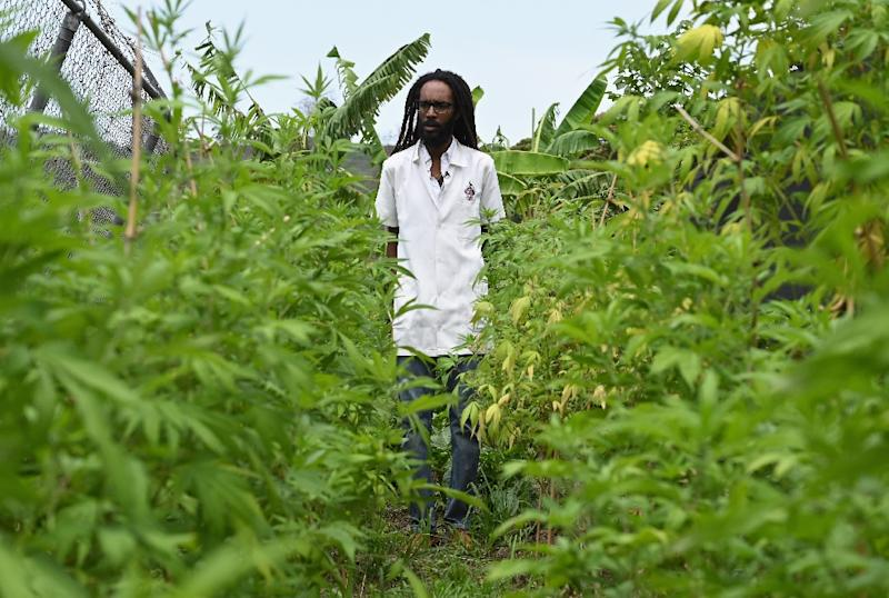 Dr Machel Emanuel and his landrace cannabis, which grew naturally in Jamaica before it disappeared as a result of human intervention (AFP Photo/Angela Weiss)