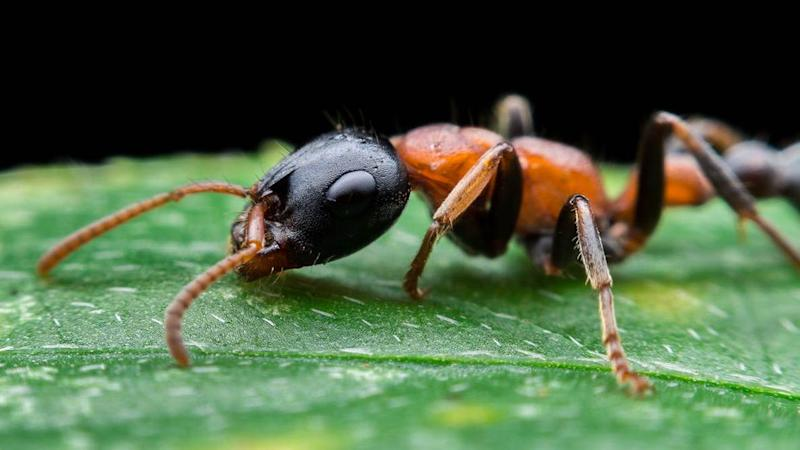 Tetraponera leafcutter ant. Image credit: Phattipol/Shutterstock