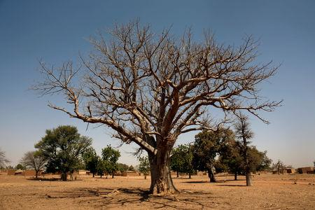 A baobab tree is pictured at Nedogo village near Ouagadougou, Burkina Faso February 16, 2018. REUTERS/Luc Gnago/Files