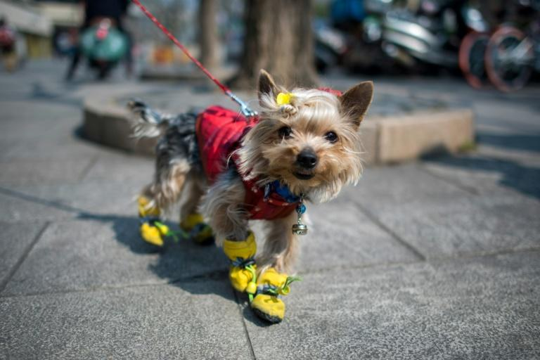 Chinese adore their pet canines, often dressing them up in eye-catching outfits, and nowhere are such furry fashionistas more conspicuous than in China's commercial hub, Shanghai