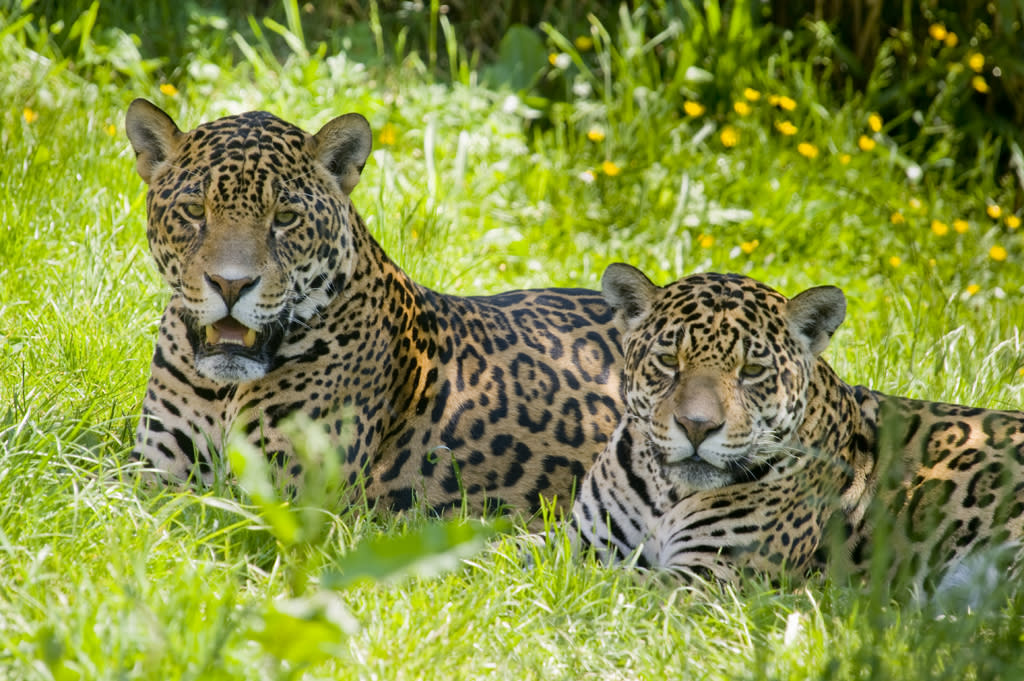<b>Jaguar </b>(Panthera onca)<br>Amazonia, Brazil<br><br>Unlike many big cat species, the jaguar actually likes to swim and will jump into the water on a warm day to cool off. It's been reported that some wild jaguars in the Amazon are missing the tops of their tails from piranha attacks.