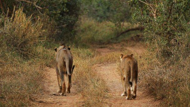 PHOTO:This file photo shows a lion and lioness walking along a trail at a game reserve on July 21, 2010 in Kruger National Park, South Africa. Kruger National Park, South Africa. (Cameron Spencer/Getty Images)