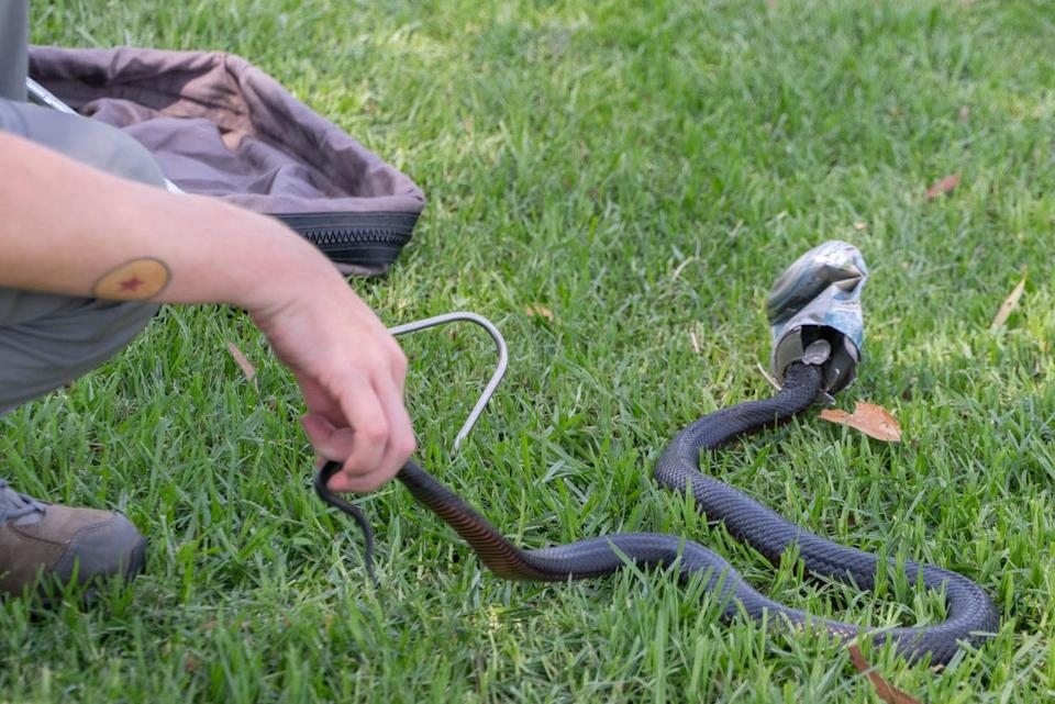 A WIRES volunteer uses a tool to capture a snake with its head caught in a can.