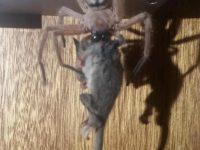 A giant possum-eating spider exists in Australia and it is absolutely nightmare-inducing