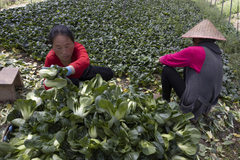 In this April 6, 2020, photo, Dong Yumei, left, harvests vegetables for volunteers in the Huangpi district of Wuhan in central China's Hubei province. Farmers spoke to the Associated Press as the city of Wuhan eases travel restrictions after claiming to have successfully halted an historic coronavirus outbreak that has since become a global pandemic. Many like Guo hope for more government support like subsidies or relief on greenhouse rents. (AP Photo/Ng Han Guan)