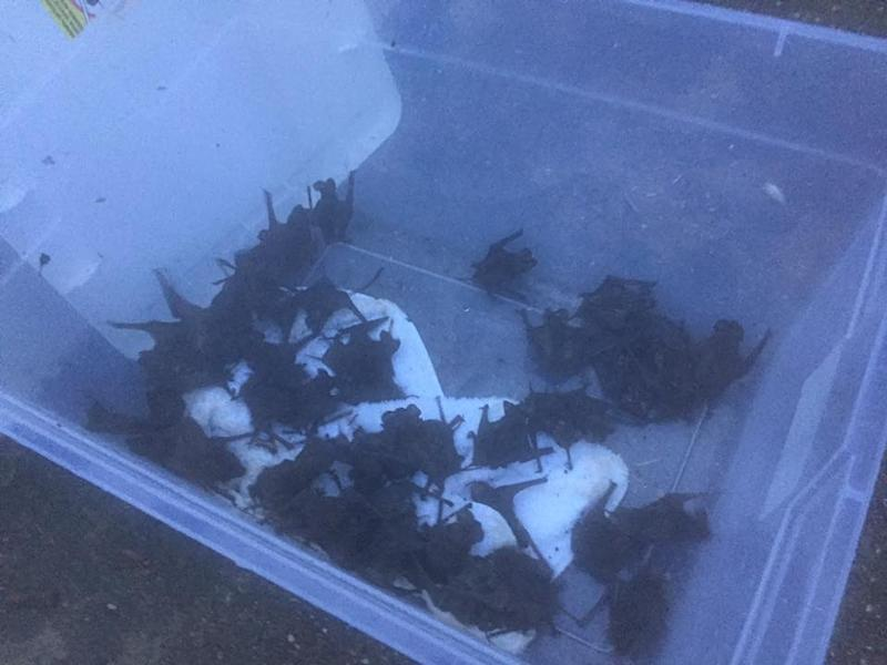 animal lover rescues bats from hurricane harvey in houston