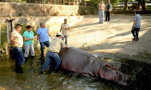 Beloved hippo Gustavito dies after beating in El Salvador zoo