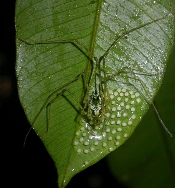 Daddy Longlegs Day Care Pays Off in Longer Life, More Sex