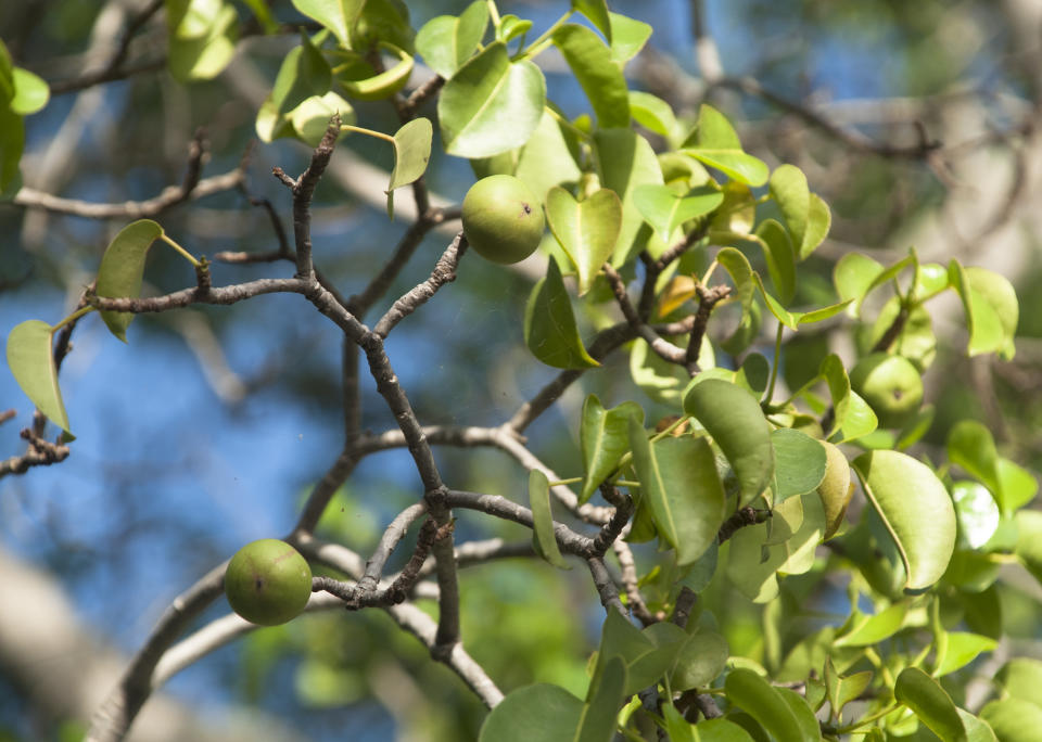 Close up of a poisonous Manchineel tree Manzanilla, fruits and leaves