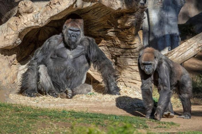 Gorillas sit after two of their troop tested positive for COVID-19 after falling ill at the San Diego Zoo Safari Park