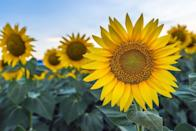 """<p>Don't be confused by the name of this Elverson, Pennsylvania, attraction! This large patch of sunflowers, which just so happens to be next to and run by <a href=""""https://www.facebook.com/Please-Wash-Me-Carwash-181968294880/"""" rel=""""nofollow noopener"""" target=""""_blank"""" data-ylk=""""slk:Please Wash Me Car Wash"""" class=""""link rapid-noclick-resp"""">Please Wash Me Car Wash</a>, is open to the public for photos and frolicking. Years ago, car wash owner Rick Frey planted the patch to attract customers to his small business, and now it's one of the most visited spots in town.</p><p><a class=""""link rapid-noclick-resp"""" href=""""https://go.redirectingat.com?id=74968X1596630&url=https%3A%2F%2Fwww.tripadvisor.com%2FTourism-g60854-Elverson_Pennsylvania-Vacations.html&sref=https%3A%2F%2Fwww.countryliving.com%2Flife%2Ftravel%2Fg21937858%2Fsunflower-fields-near-me%2F"""" rel=""""nofollow noopener"""" target=""""_blank"""" data-ylk=""""slk:PLAN YOUR TRIP"""">PLAN YOUR TRIP</a></p>"""