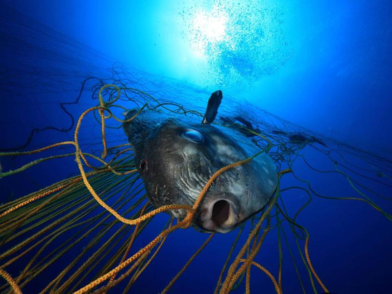 Fish entangled in ghost gear might be strangled or starve to death (Alessio Viora / Marine Photobank)