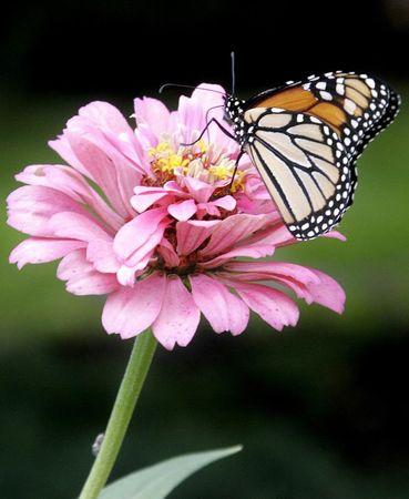 A monarch butterfly lands on a Zinnia in a Sunbury, Pennsylvania garden in this September 4, 2005 file photo.  REUTERS/Stelios Varias/Files