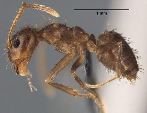 Mysterious 'Crazy Ants' Identified