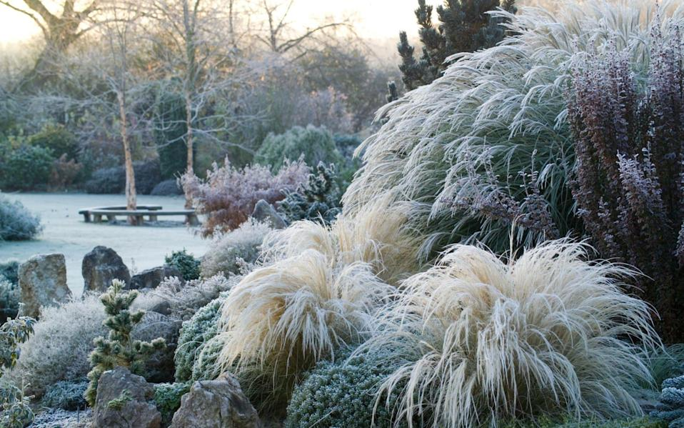 A frosty winter's morning on the rock garden in John Massey's garden. Stipa tenuissima in the foreground. - Jonathan Buckley / gapphotos.com