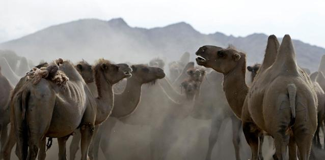 <p>Camels stand on a desert near the Takhin Tal National Park, part of the Great Gobi B Strictly Protected Area, in south-west Mongolia, June 20, 2017. (Photo: David W. Cerny/Reuters) </p>