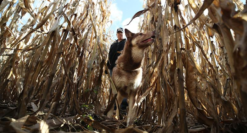A man leads a dog through a corn field in Barron, Wisconsin searching for Jayme Closs.
