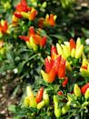 <p>These plants embody all the colors of fall in one punch. Not for human consumption, these fiery little peppers add a bit of flare to your fall garden.</p><p><strong>Zones: 9-11</strong></p>