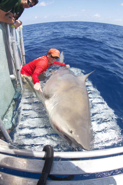 The huge bull shark, the top predator in the Florida Keys where it was caught, turned out to be a female, which are typically larger than males.
