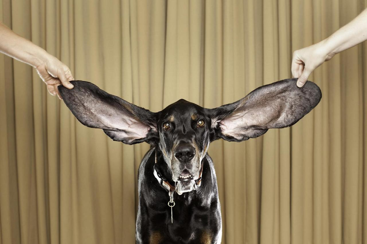 In this photo taken Oct. 10,2010 showing Harbor, an 8 year old coonhound from Bolder Co. displays his winning ears after winning a Guinness World Record titlefor 2012 for the Dog With The Longest Ears in Bachelor Gulch, Co. (AP Photo/Ryan Schude/Guinness World Records)