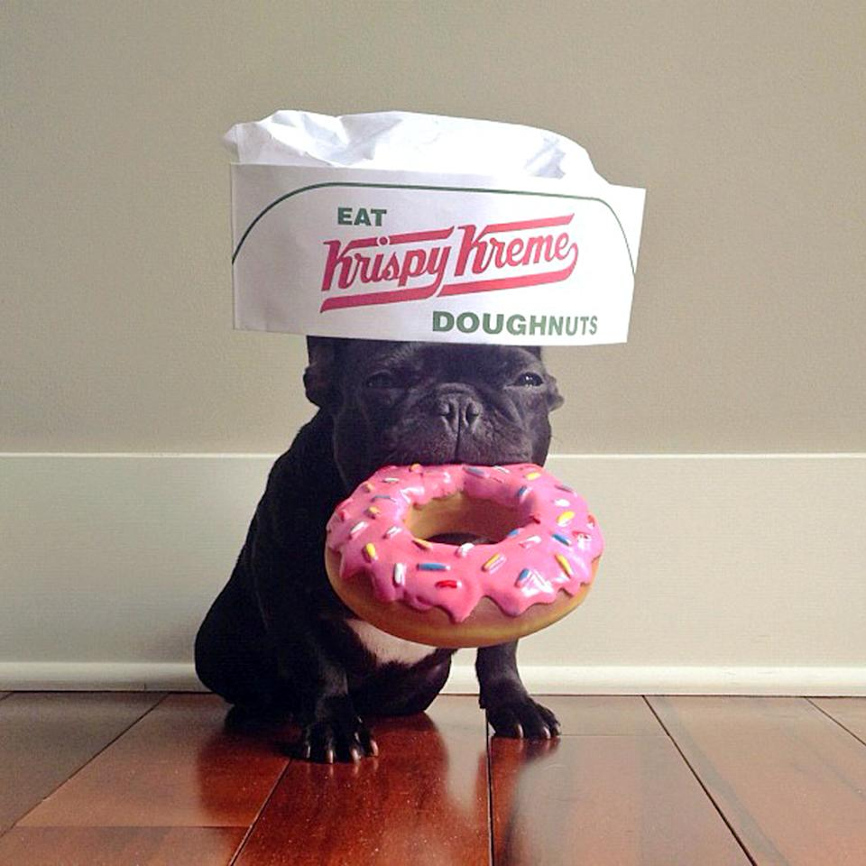 PIC BY SONYA YU / CATERS NEWS - (PICTURED: Trotter as a very hungry Krispy Kreme Doughnuts worker) - An adorable little French Bulldog has been playing dress-up and has impressively gathered a following of 30,000 on Instagram. The photogenic hipster, called Trotter, wears a range of outfits from a beret, moustache, top hat and pipe to high heels. Owner and Trotters photographer Sonya Yu said her little pup is simply a natural in front of the camera. SEE CATERS COPY