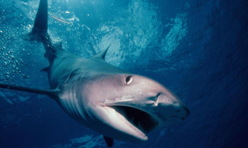 A tiger shark: neither too hot, nor too cold.