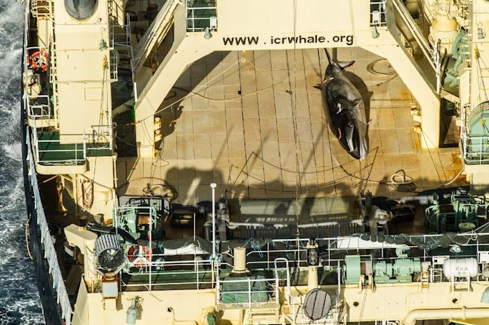 """A protected minke whale seen onboard the Nisshin Maru at sea in Antarctic waters in January 2017; Tokyo currently observes the moratorium on whaling but exploits a loophole to kill hundreds of whales every year for """"scientific purposes"""" (AFP Photo/Glenn LOCKITCH)"""