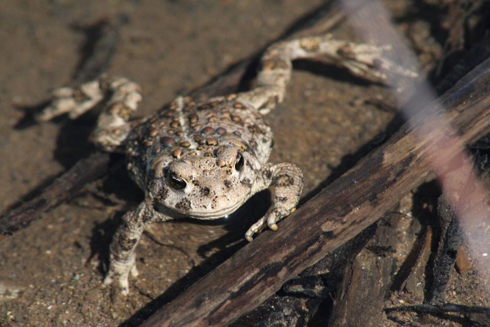 <p><strong>Wyoming Toad - </strong>This frog prince is now extinct in the wild with its only population living in captivity. Native to the state, there are about 1,500 toads living today. </p>