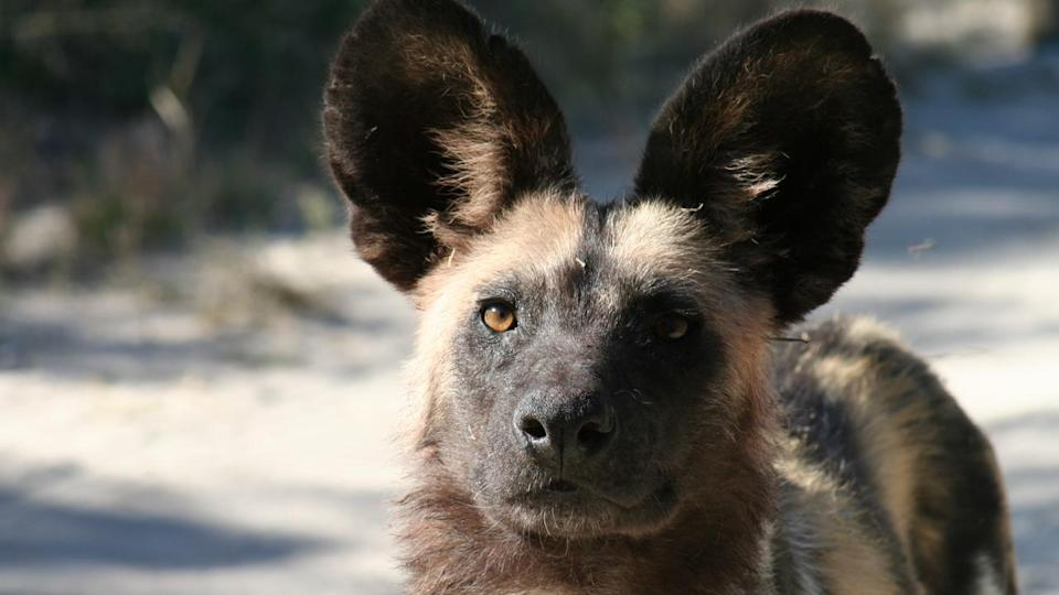 A Perth Zoo stalwart has devoted his life and savings to protect the endangered African Painted Dog.