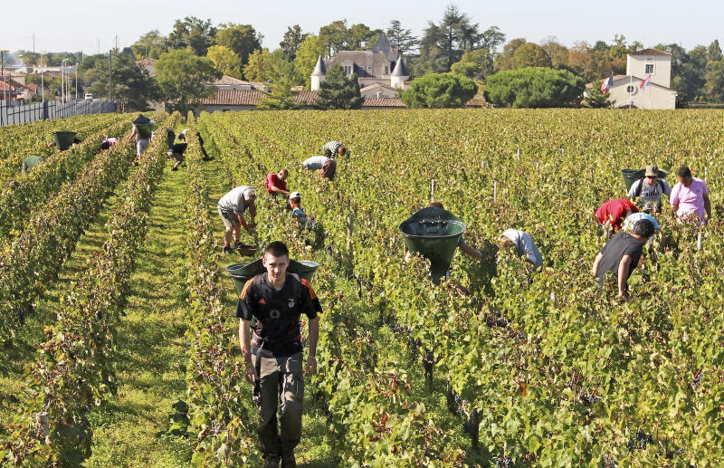 FILE - This Oct. 7, 2013 file photo shows workers collecting red grapes in the vineyards of the famed Chateau Haut Brion, a Premier Grand Cru des Graves, during the grape harvest season, in Pessac-Leognan, near Bordeaux, southwestern France. Amid a rising tide of concern and protest in France over the use of legal toxins by its massive and powerful farming industry, President Emmanuel Macron's government is planning the enforced creation of small buffer zones to separate sprayed crops from the people who live and work around them. (AP Photo/Bob Edme, File)