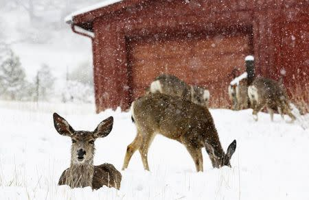Mule deer are seen in the snow during a late spring snow storm in Golden, Colorado May 11, 2014. REUTERS/Rick Wilking