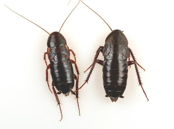 Both Turkestan (left) and oriental cockroaches are commonly called water bugs, and the females (shown here) look similar to each other.