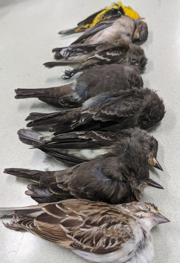 Birds in southern New Mexico that have mysteriously died. (Allison Salas)