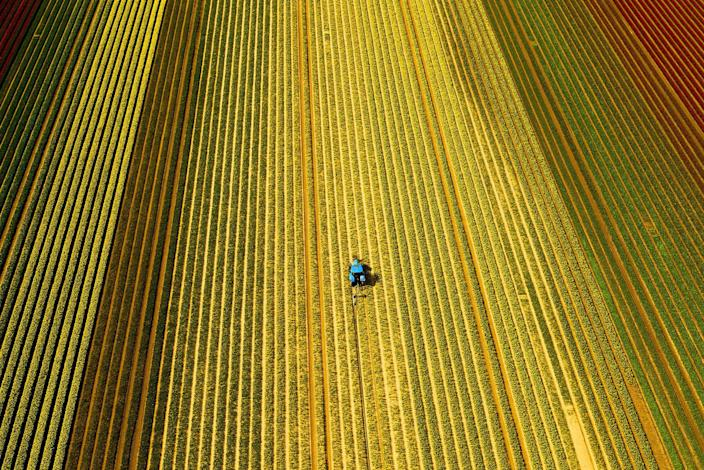 <p>An aerial view of workers in a field of tulips near the village of East Winch, in Norfolk, East Winch, England on April 11, 2017. (Steve Parsons/PA Wire via ZUMA Press) </p>