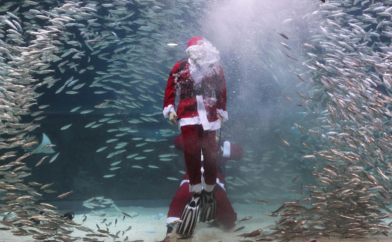 SEOUL, SOUTH KOREA - DECEMBER 08:  South Korean divers clad in Santa Claus costume swim with sardines at The Coex Aquarium on December 8, 2012 in Seoul, South Korea. Even though the official religion of South Korea is Buddhism, about 30 percent of it is Christian and Christmas is one of the biggest holidays to be celebrated in South Korea.  (Photo by Chung Sung-Jun/Getty Images)