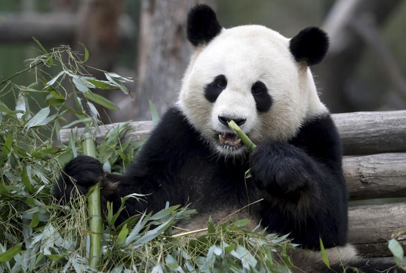 Male panda Jiao Qing eats bamboo in its enclosure at the Zoo in Berlin, Germany, Friday, April 5, 2019. (AP Photo/Michael Sohn)