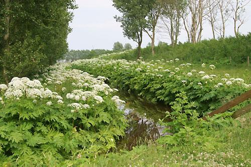 "<b>Giant Hogweed</b><br /><br />Giant hogweed is a plant that originated in Europe, but can now frequently be found along <a href=""http://www.omafra.gov.on.ca/english/crops/facts/ontweeds/giant_hogweed.htm"" target=""_blank"">roadsides and stream banks in Ontario</a>. ""It grows to heights of 2-5 metres, with purple coloured stalks that are often spotted, with course, jagged leaves,"" notes Dan Truesdale, an Outdoor recreation expert and garden enthusiast at <a href=""http://www.mec.ca/"" target=""_blank"">Mountain Equipment Co-op</a>. He notes that giant hogweed is a phototoxic plant that can cause long-lasting purple and black scars. ""And if it comes in contact with the eyes, it can also cause temporary or permanent blindness."""