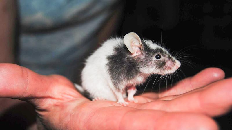 U.K. scientists break new ground by creating baby mice from sperm, no egg