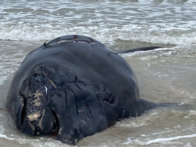 This photo provided by Anastasia State Park shows a baby whale that washed ashore at Anastasia State Park near St. Augustine, Fla., Saturday, Feb. 13, 2021. The plight of endangered right whales took another sad turn Saturday, when a baby whale, possibly two months old, washed ashore on a Florida beach with telltale signs of being struck by a boat. (Anastasia State Park via AP)