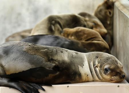 Rescued California sea lion pups rest in their holding pen at Sea World San Diego in San Diego, California January 28, 2015.  REUTERS/Mike Blake