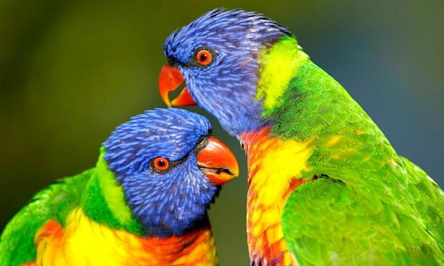"<span class=""element-image__caption"">Rainbow lorikeets – firmly in the top 10 in the bird of the year poll.</span> <span class=""element-image__credit"">Photograph: MyLoupe/UIG via Getty Images</span>"