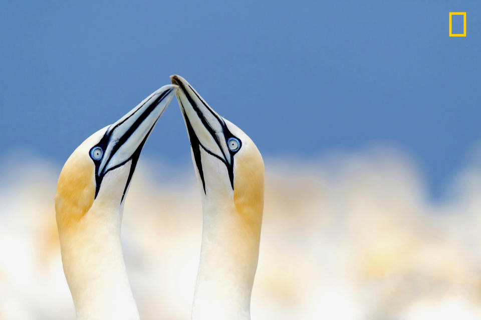 <p>A pair of breeding gannets crane theri necks towards each other on Bonaventure Island in Canada, as 54,000 pairs cluster in the background. (Damilice Mansur/National Geographic Nature Photographer of the Year contest) </p>