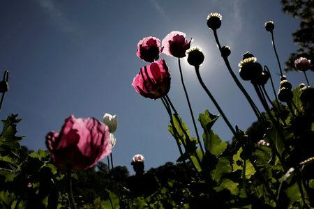 FILE PHOTO: Poppy plants used to make heroin are seen at a clandestine plantation during a military operation in Culiacan in the state of Sinaloa, December 8, 2011. REUTERS/Bernardo Montoya/File photo