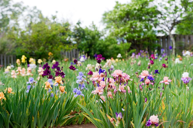 field of multi-colored bearded irises with trees and a fence in the background