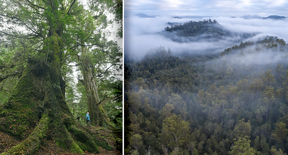 A person looks tiny when standing next to a tree in the Tarkine valley. Source: Ted Mead / Supplied